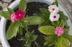 Vinca flowers picture_annaul flowers.jpg