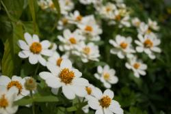 white annual flowers in yellow eyes.jpg