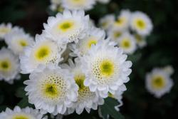 White annual flowers with yellow centers.jpg