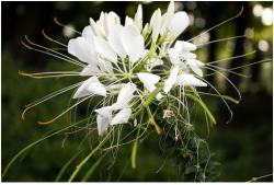 White Cleome annual flower.jpg