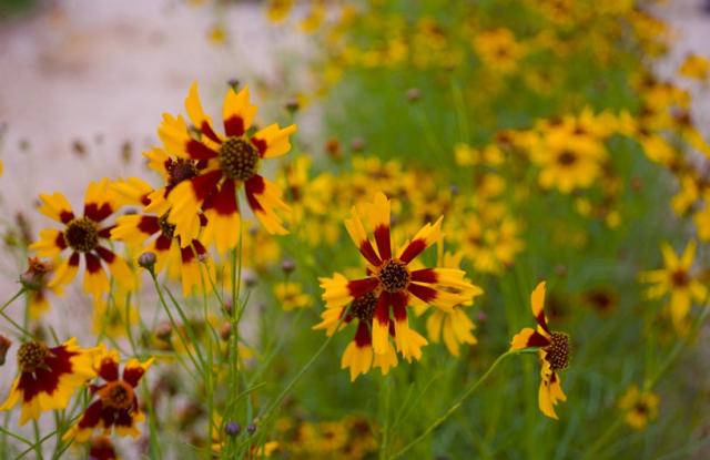yellow and light brown annual flowers picture.jpg