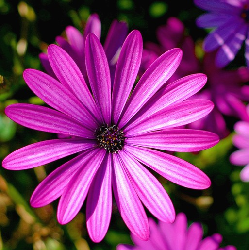 Purple Daisy Flower: Purple Pink Daisy Photo.jpg