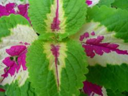 Coleus Flowers Gallery