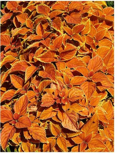 rich orange coleu plants.jpg
