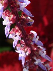close up picture of coleus flowers in red, lught purple colrs.jpg