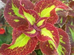 Coleus flowers plant in brown red and light yellow.jpg