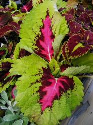 coleus flowers plant with beautiful patterns.jpg