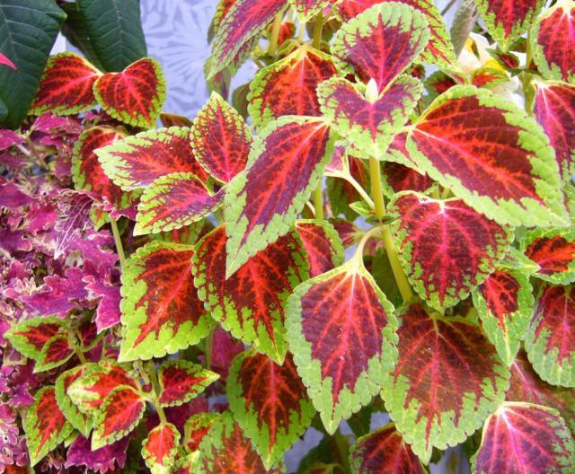 Coleus Garden Plant