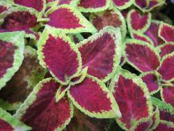 coleus plants for your garden with two colors.jpg
