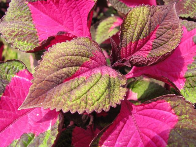 Fall flowers coleus plants with bright hi res 720p hd - Flowers to plant in the fall ...