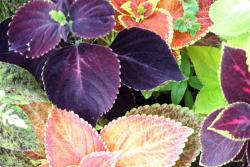 garden plants coleus flowers in different colors.jpg