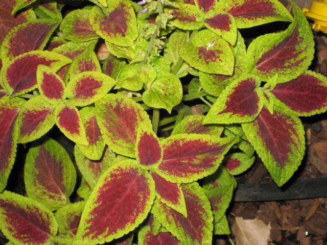 Green And Red Colors With Coleus Flowers Hi Res
