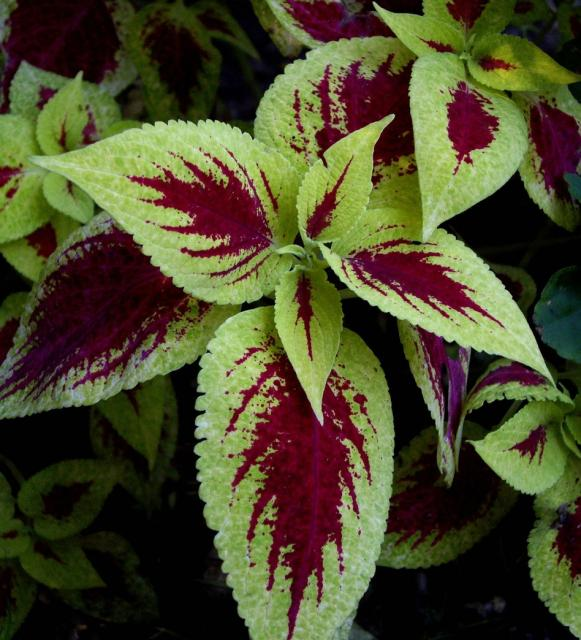 Hardy garden flowers coleus 1 comment hi res for Hardy flowering trees