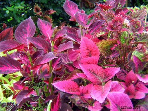hot pink flowers leaves picture.jpg