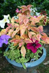 Light orange coleus flowers plant picture.jpg