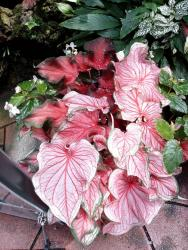 light pink coleus flower plants with red lines.jpg