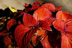 photo of red coleus flower plant.jpg