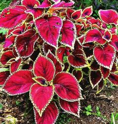 pic of coleus plants.jpg
