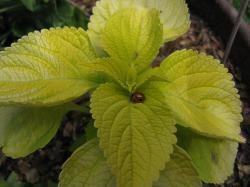 picture of yellish green coleus plant.jpg
