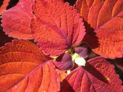 potted flowers coleus.jpg