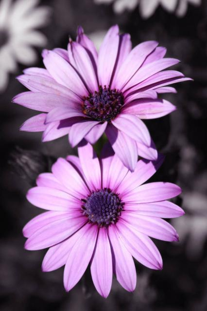 purple Gerbera.jpg