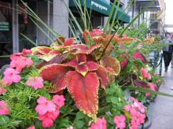 potted plants coleus.jpg
