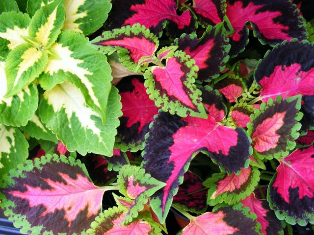 Pretty Colored Coleus Flowers Hi Res 720p Hd