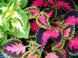 pretty colored coleus flowers plants.jpg