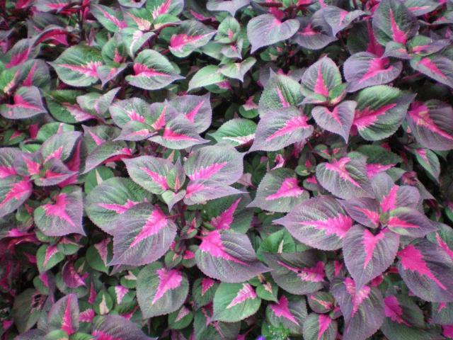 pretty garden flowers coleus plants image hires p hd, Beautiful flower