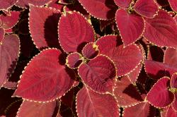 red coleus flowers plants with bright yellow line at the edges.jpg