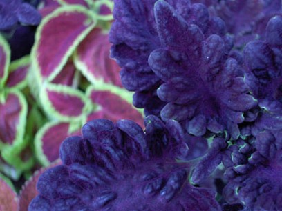 rich dark purple Coleus flowers plant photo.jpg