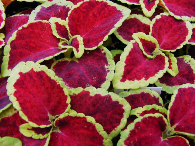 rich dark red coleus flowers plant with yellow green lines.jpg