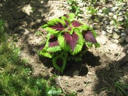 small Coleus plant picture.jpg