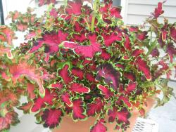 unique coleus flowers plant pretty shapes flowers.jpg