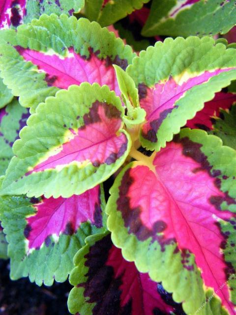 Wizard Rose Coleus flowers in green and pink.jpg