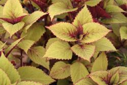 yellow coleus flower plant.jpg