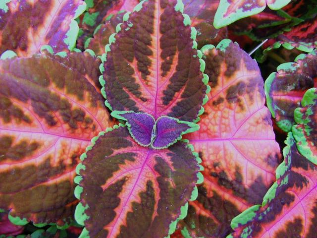 beautiful flowers picture of coleus plant with a cute small dark purple center.jpg
