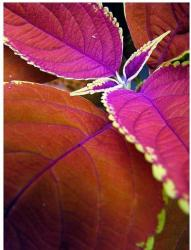 bright color coleus plants.jpg
