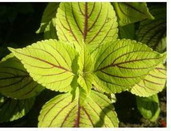 bright yellish green coleus flowers plant.jpg