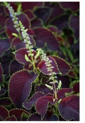 Chocolate Mint Coleus flowers.jpg