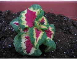 Coleus flower plant in three colors.jpg