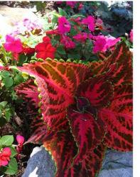 Coleus flower plants.jpg