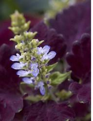 coleus plants with dark purple with light purple flowers.jpg