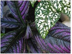 dark purple coleus flowers plant.jpg