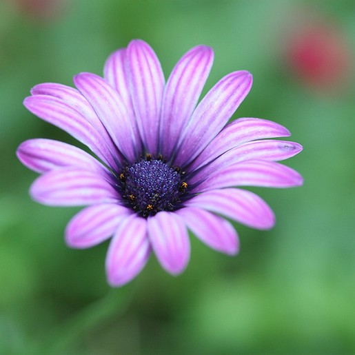 Purple Daisy Flower: Purple Daisy.jpg