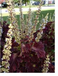 growing coleus flowers.jpg