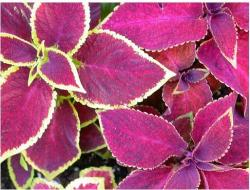Image of beautiful coleus plants in rich pink.jpg