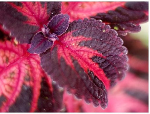 image of coleus flower plants.jpg