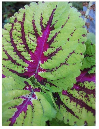 image of green coleus with bright pink lines.jpg