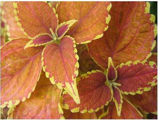 Orange Coleus flowers.jpg
